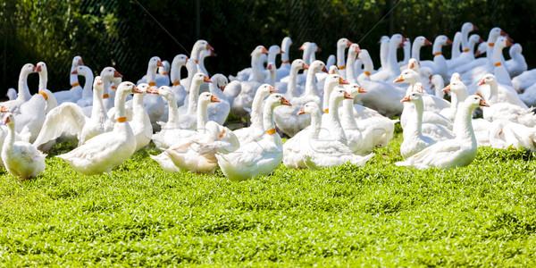 Gans boerderij Tsjechische Republiek vogel groep Europa Stockfoto © phbcz