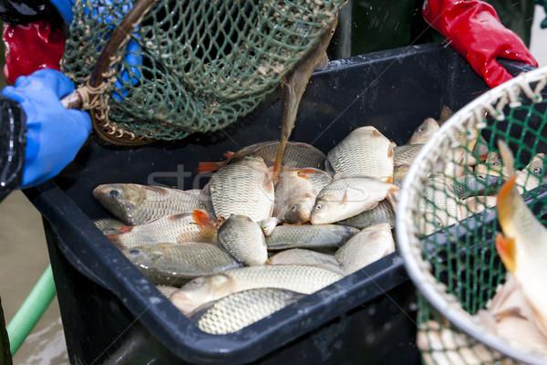 Cosecha estanque peces pesca pescador guantes Foto stock © phbcz