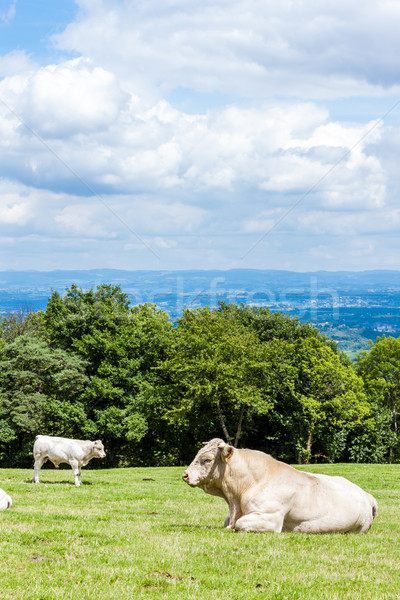 cows on meadow, Rhone-Alpes, France Stock photo © phbcz