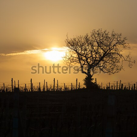 vineyard with tree near Velke Bilovice, Czech Republic Stock photo © phbcz