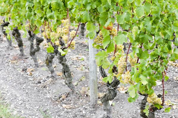 белый винограда виноградник регион Франция фрукты Сток-фото © phbcz