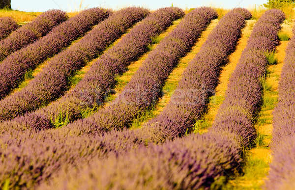 Campo de lavanda planalto França flor natureza fundo Foto stock © phbcz