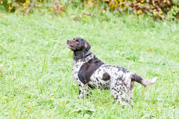 Jachthond weide hond dier buitenshuis Stockfoto © phbcz