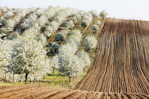Floraison verger printemps domaine République tchèque arbre Photo stock © phbcz