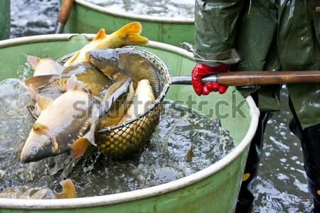 Cosecha estanque pesca animales tanque aire libre Foto stock © phbcz