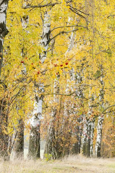 Stock photo: autumnal birch alley