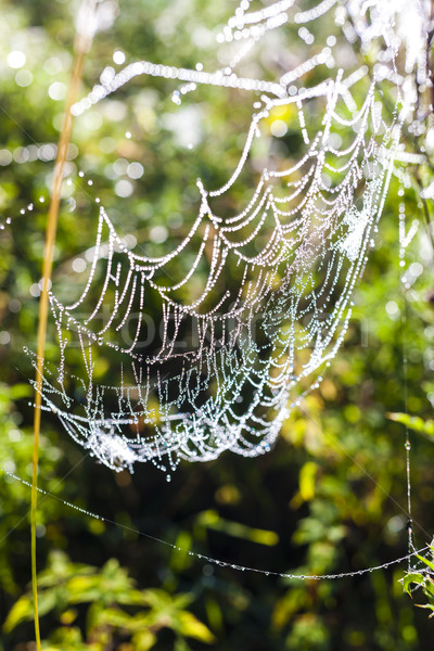 spider web on meadow Stock photo © phbcz