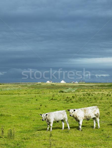 牛 半島 アイルランド 自然 ファーム ストックフォト © phbcz
