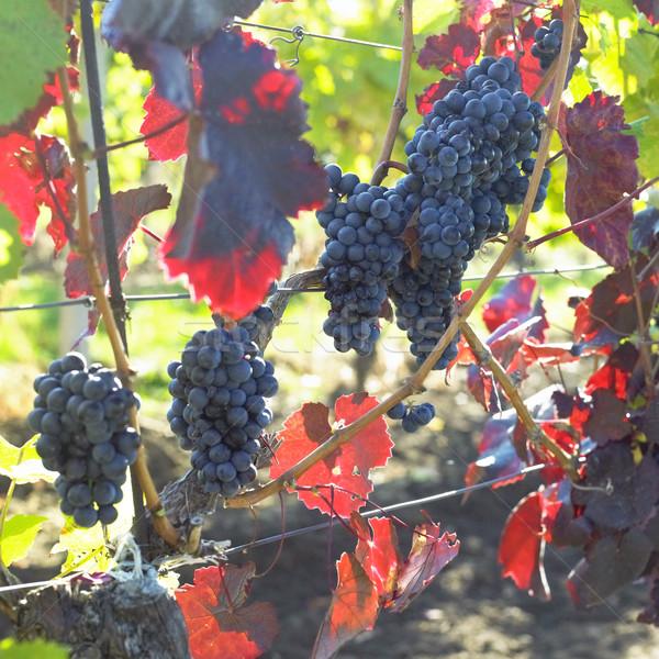 grapevines in vineyard (frankovka), Czech Republic Stock photo © phbcz