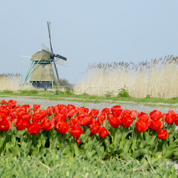 Stock photo: windmill with tulip field near Ooster Egalementsloot canal, Neth