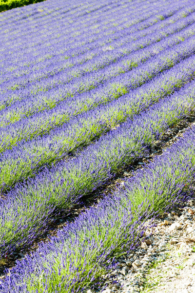 Lavendel veld afdeling Frankrijk bloem natuur achtergrond Stockfoto © phbcz