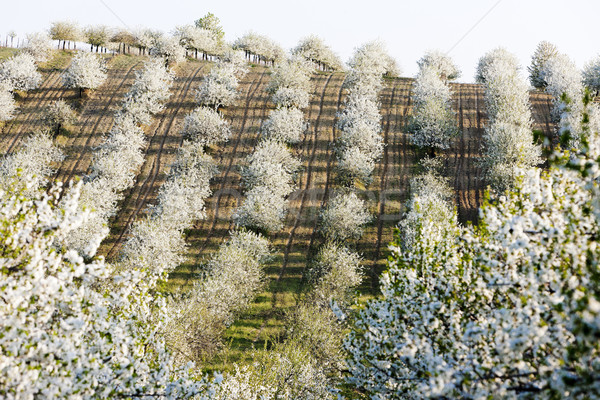 blooming orchard in spring, Czech Republic Stock photo © phbcz