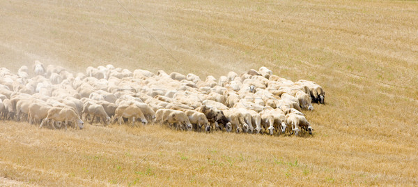sheep herd, Castile-La Mancha, Spain Stock photo © phbcz