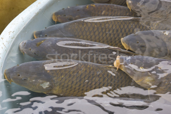 Christmas carps (Czech Christmas tradition) Stock photo © phbcz
