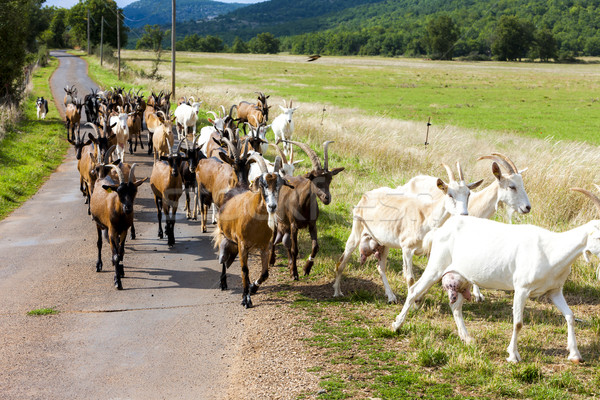 herd of goats on the road, Aveyron, Midi Pyrenees, France Stock photo © phbcz