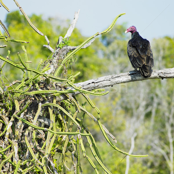 bird of prey, Cayo Sabinal, Camaguey Province, Cuba Stock photo © phbcz