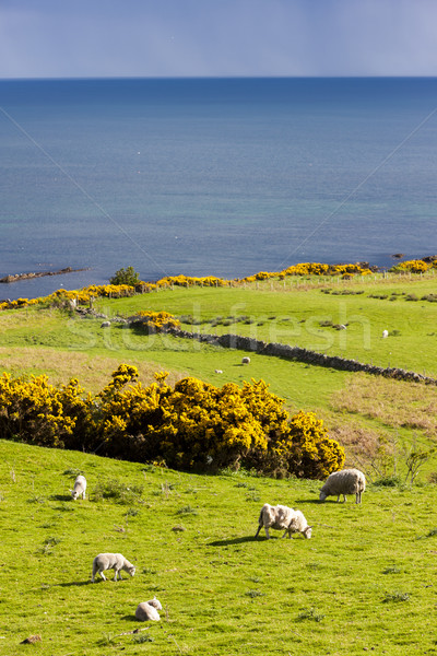 Landschap schapen hoogland Schotland zee Europa Stockfoto © phbcz