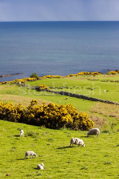 Stock photo: landscape with sheep near Crackaig, Highlands, Scotland