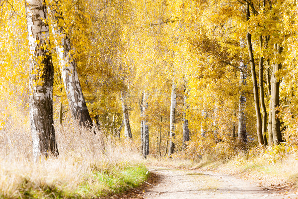 autumnal birch alley Stock photo © phbcz