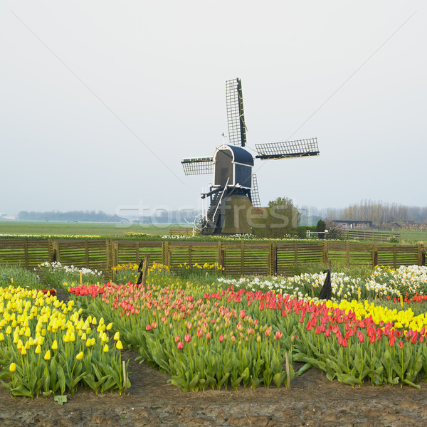 windmill with tulips near Offem, Netherlands Stock photo © phbcz