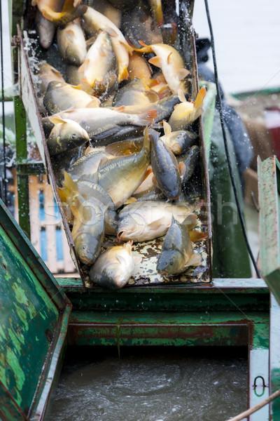 Raccolta stagno pesce pesca Foto d'archivio © phbcz