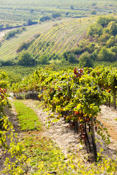 Stock photo: autumnal vineyards, Southern Moravia, Czech Republic