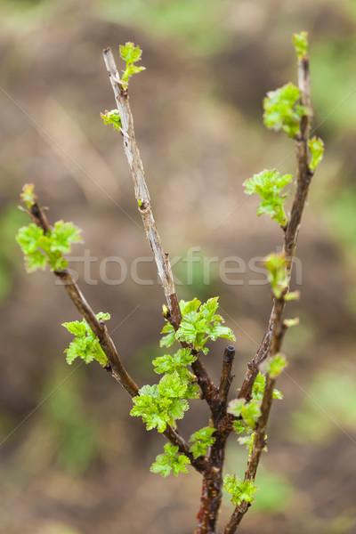Oddziału prąd Bush wiosną charakter zielone Zdjęcia stock © phbcz