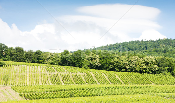 vineyards around the village of Hunawihr, Alsace, France Stock photo © phbcz