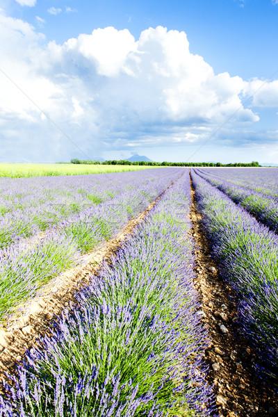 ラベンダー畑 高原 フランス 花 旅行 植物 ストックフォト © phbcz