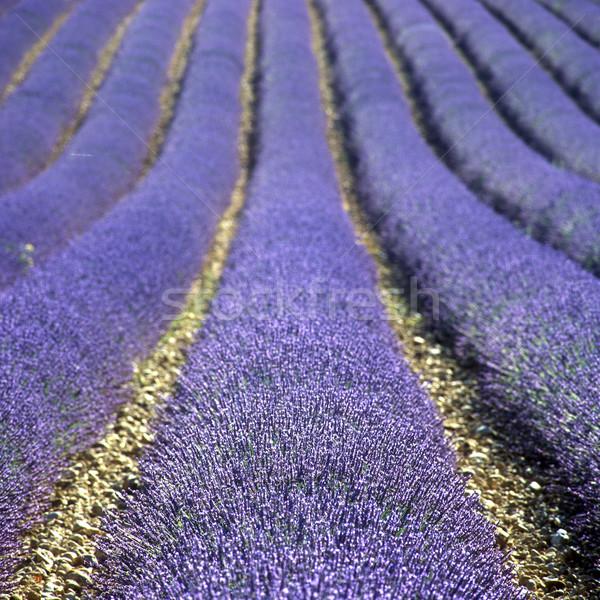 Photo stock: Champ · de · lavande · plateau · France · fleur · nature · fond