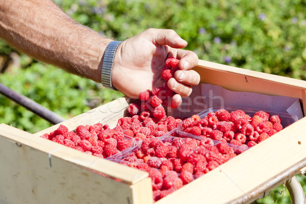 harvest of raspberries Stock photo © phbcz