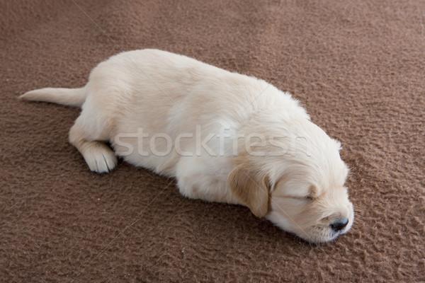 sleeping puppy of golden retriever Stock photo © phbcz