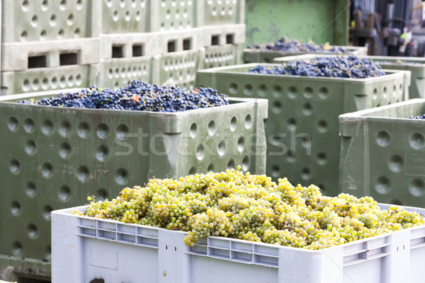 wine harvest, Southern Moravia, Czech Republic Stock photo © phbcz