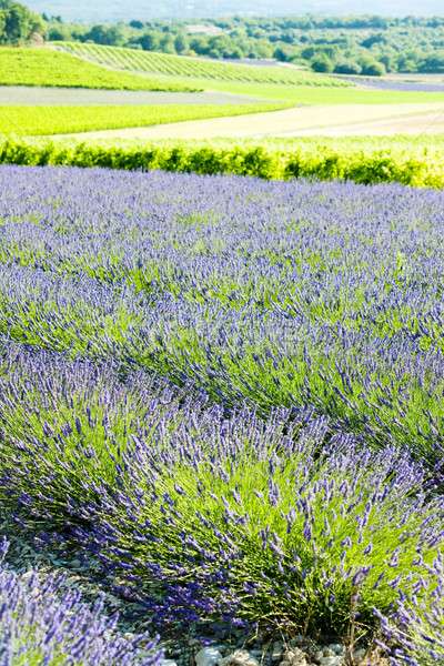 lavender field with vineyards, Drome Department, Rhone-Alpes, Fr Stock photo © phbcz