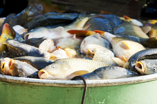 fish in vat during harvesting pond Stock photo © phbcz