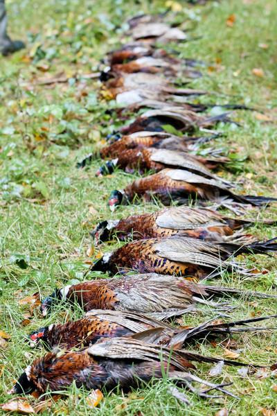 excludes of caught pheasants Stock photo © phbcz