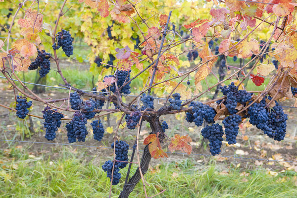 grapevines in vineyard Jecmeniste, Eko Hnizdo, Czech Republic Stock photo © phbcz
