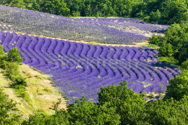 Campo de lavanda França paisagem planta europa agricultura Foto stock © phbcz