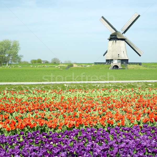 windmill with tulip field near Schermerhorn, Netherlands Stock photo © phbcz