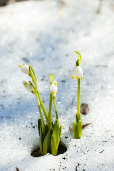 spring snowflakes in snow Stock photo © phbcz