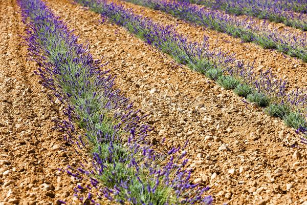 Levendula mező fennsík Franciaország természet növény Európa Stock fotó © phbcz