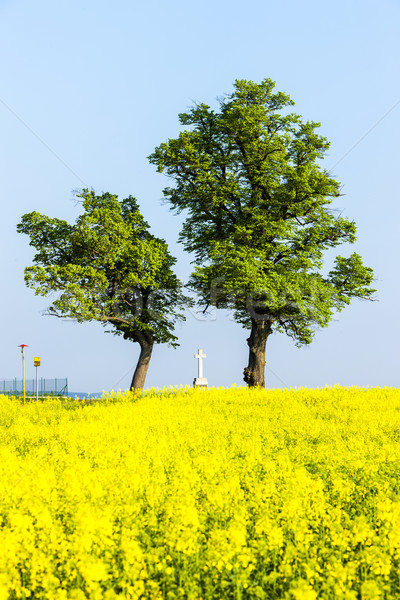 trees and cross with rape field, Czech Republic Stock photo © phbcz