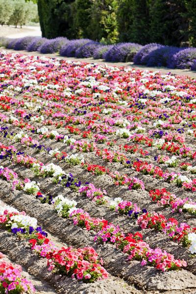 Champ de fleurs France fleur nature domaine rouge Photo stock © phbcz