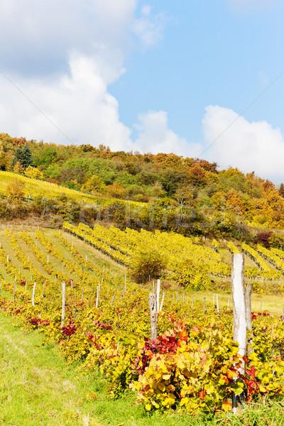 autumnal vineyards in Retz region, Lower Austria, Austria Stock photo © phbcz