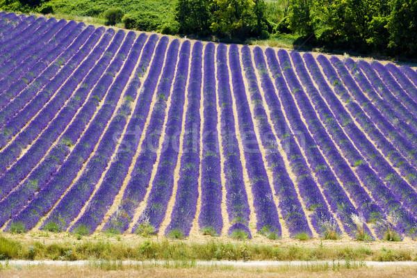 Campo de lavanda meseta Francia flor fondo campo Foto stock © phbcz