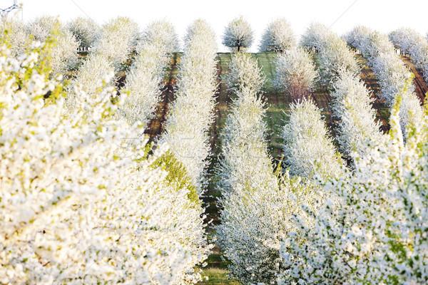 Boomgaard voorjaar Tsjechische Republiek bloem boom Stockfoto © phbcz
