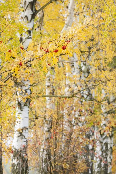 Bétula beco árvore outono planta Foto stock © phbcz