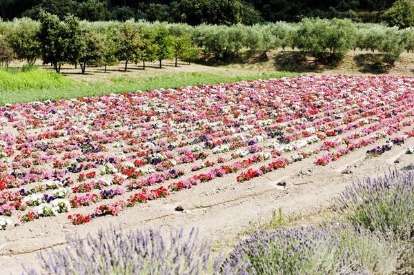 Champ de fleurs France fleur nature usine Europe Photo stock © phbcz