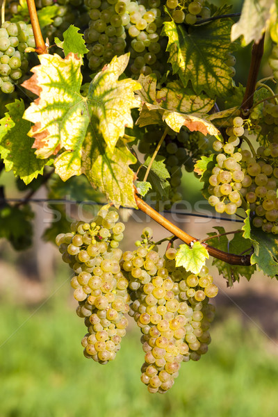 white grapes in vineyard, Southern Moravia, Czech Republic Stock photo © phbcz