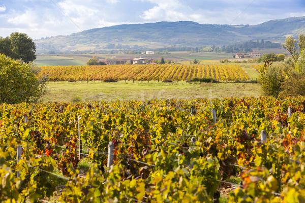 vineyards of Beaujolais, Rhone-Alpes, France Stock photo © phbcz